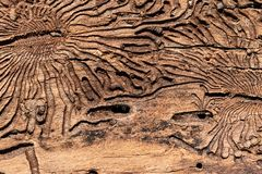 The texture of the inner surface of pine bark damaged by insect pests.  stock images