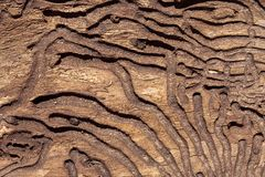 The texture of the inner surface of pine bark damaged by insect pests.  stock image