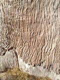 Texture intéressante de peau d'arbre Photo libre de droits