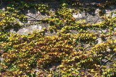 Texture of ivy leaves on a stone wall, concept of old cities, houses, buildings, vegetation on concrete, place for text royalty free stock photography