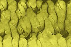 Texture of jackfruits as found in asia vector illustration