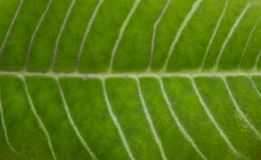 Texture of a juicy green leaf. Background of a plant stock photos