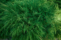 The texture of a juniper,  cypress. Fresh juicy green eco background Royalty Free Stock Images