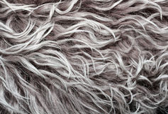 Texture lambskin with long grey hair and curls. Texture lambskin with long hair and curls stock images