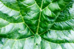 Texture of a large green fresh bright leaf of a plant with patterns, veins and folds. A background Royalty Free Stock Photography