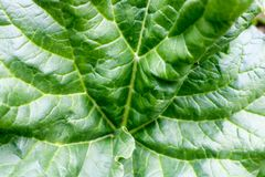 Texture of a large green fresh bright leaf of a plant with patterns, veins and folds. A background Royalty Free Stock Photos