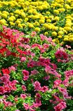 The texture of a large number of different colorful flowers planted in a flower be. D stock image