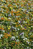The texture of a large number of different colorful flowers planted in a flower be. D royalty free stock photos