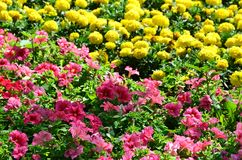 The texture of a large number of different colorful flowers planted in a flower be. D royalty free stock images