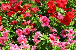 The texture of a large number of different colorful flowers planted in a flower be. D royalty free stock photography