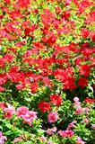 The texture of a large number of different colorful flowers planted in a flower be. D royalty free stock image