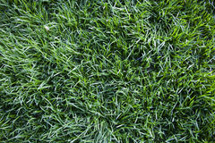 Texture of the lawn grass, top view Royalty Free Stock Photography