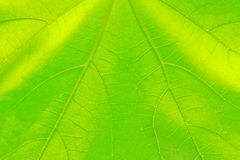 Texture of the leaf. Background and texture of the leaf Royalty Free Stock Photos