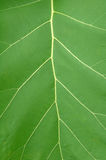 Texture of leaf. In tropical forest Royalty Free Stock Image
