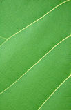 Texture of leaf. In tropical forest Stock Photos