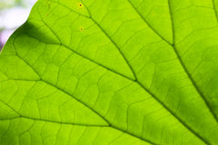 Leaf texture. Texture of a green leaf as background Stock Images