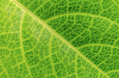 Texture of leaf for background Stock Images