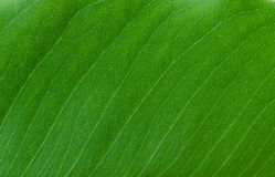 Texture of leaf for background Royalty Free Stock Images