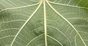 Texture leaf fig. A fig leaf, a rough sheet and pentagon shaped stock photos