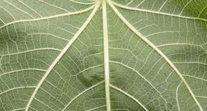 Texture leaf fig Stock Photos