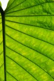 Texture of a leaf of ornamental plant Royalty Free Stock Image