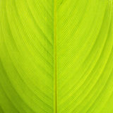 Texture of the leaf Royalty Free Stock Image