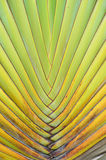 Texture of leaf Traveller's palm Royalty Free Stock Photos