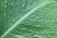 Texture of leaf with water drops. Royalty Free Stock Photography