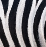 Texture of leather, fur zebra Royalty Free Stock Photos