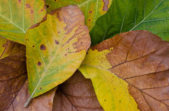 Texture of Leaves. Texture of drying leaves for natural background Stock Image