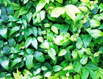 Textures natures. Green nature leaves Stock Photos
