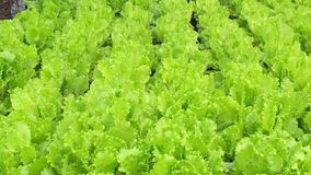 Texture of leaves of juicy lettuce close-up. Agriculture. Plantation. Salad.