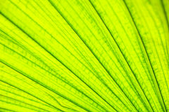Texture of leaves palm Stock Photography