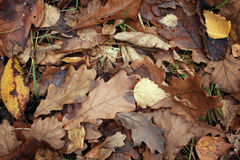 Texture leaves yellow fallen brown Stock Images