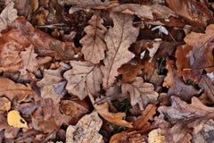 Texture leaves yellow oak fallen Stock Images