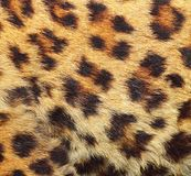 Texture of leopard fur Stock Photos