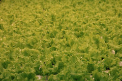 Texture of the lettuce leaves Royalty Free Stock Photo