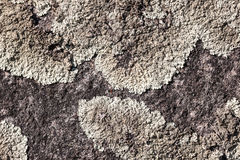 Texture with lichen royalty free stock photo