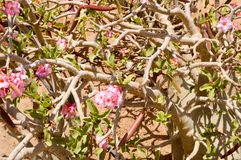 Texture of light wooden twisted branches of dry natural beautiful violet pink tropical exotic flowers against the background stock photography