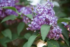 Texture of lilac flower stock photos