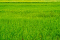 Texture and lines of green and yellow rice field Royalty Free Stock Images