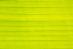 Texture,Lines,Pattern of yellow Banana Leaf Stock Photography