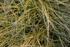 Texture long green grass. Colorful Texture long green grass close up Royalty Free Stock Photography