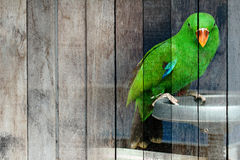 Texture , lovely male Eclectus parrot on old wood . Royalty Free Stock Photography