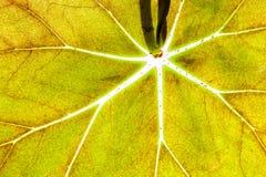 Texture lumineuse de nervures de feuille verte Photographie stock libre de droits