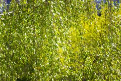 Texture made of green birch leaves toned image royalty free stock photo