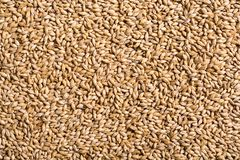 Texture of malt pilsner. Barley Royalty Free Stock Images