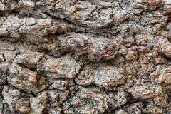 Texture millénaire le pistachier d'écorce Images libres de droits