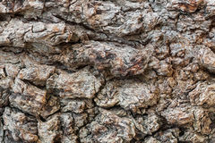 Texture millennial the bark pistachio tree Royalty Free Stock Images