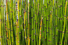 Texture of Mini Bamboo green color. Royalty Free Stock Photography